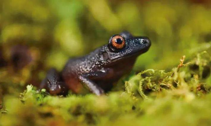 Aussie scientists urge to protect frog species to support ecosystems, biodiversity