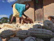 Zimbabwe's food insecurity down to 27 pct after bumper harvest: m ..