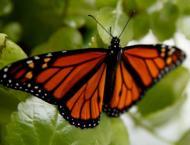Massive plantation efforts help revive lost butterflies in twin c ..