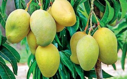 Online mango trade offers handsome profit to growers