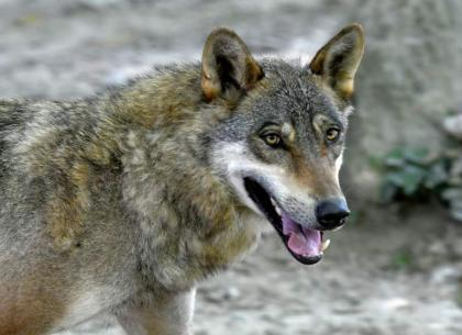 'It's a plague': Croatian farmers incensed by wolf attacks