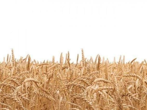 Bahawalpur Div stands atop in wheat production