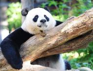 China Says Giant Pandas No Longer Endangered in Wild Due to State ..