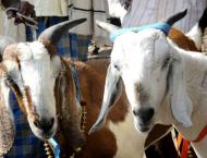 India bans sacrificial animal slaughter on Muslim festival in Kas ..