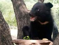 IWMB receives another black bear rescued from poachers in Gujranw ..