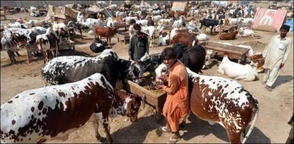 Senate body for strict SOPs observance at cattle markets