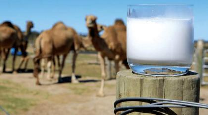 Laboratory for analysis of camel milk established at IUB