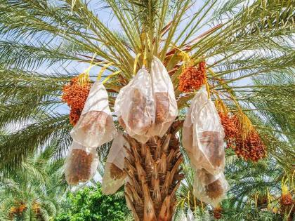 Al Dhaid Date Festival 2021 - Incredible platform for palm owners to promote products