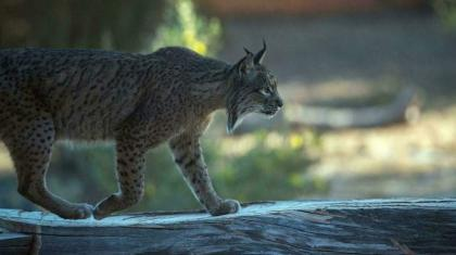 In Spain, Iberian lynx claws back from brink of extinction