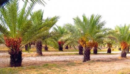 Gardeners advised to continue irrigation of date-palm orchards