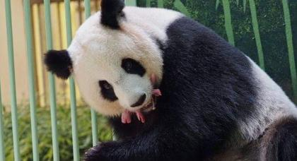 Giant panda gives birth to twins at France zoo