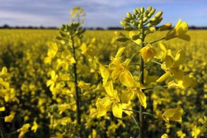 Canola cultivation should be started from September