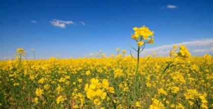 Farmers advised to start canola cultivation immediately