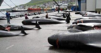 NGOs Urge Int'l Community to Address Whaling in Faroe Islands After Dolphin Massacre