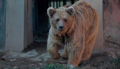 Islamabad Zoo's Brown bear Suzie dies at Al Mawa sanctuary