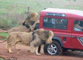 Abnormal Attack Of Lions