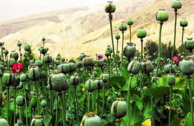 Amriki Sarparasti Main Afghanistan Main Post Ki Kasht