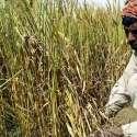 حویلی لکھا، نواحی گائوں میں ایک کسان گندم کی کٹائی میں مصروف ہے۔