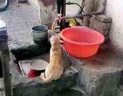 لاہور ، ایک بلی نلکے سے گرنے والے پانی کے قطروںسے اپنی پیاس بجھا رہی ..