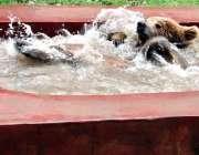 لاہور: چڑیا گھر میں ریچھ کا بچہ گرمی کی شدت کم کرنے کے لیے پانی میں نہا ..