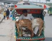 لاہور: ایک شخص چنگچی رکشے میں بکریاں لے جا رہا ہے۔