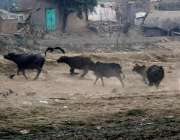 لاہور: دریائے راوی کنارے بھینسیں اٹھکیلیاں کر رہی ہیں۔