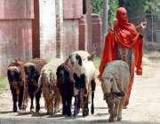 لاہور: ایک خاتون بکریوں کے ریوڑ کو چرانے کے لیے لیجا رہی ہے۔