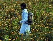لاہور: بہار کے موسم میں کسان گینڈے کے پھولوں پر سپرے کر رہا ہے۔