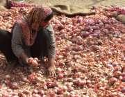 لاہور: ایک محنت کش خاتون منڈی میں پیاز چھانٹی کر رہی ہے۔