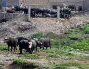 راولپنڈی: خیابان سر سید میں بھینسوں کا باڑہ جس کی گندگی نالہ لئی میں ..