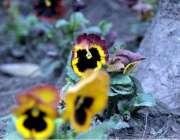 راولپنڈی:موسم کی تبدیلی کے ساتھ کھلتے پھول کا خوبصورت منظر۔