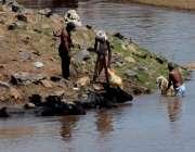 لاہور: شدید گرمی میں چرواہے اپنے جانوروں کو دریائے راوی میں نہلا رہے ..