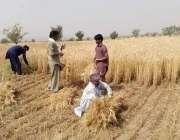 شکر گڑھ: نواحی دیہات میں کسان گندم کی کٹائی میں مصرف ہیں۔