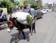 لاہور: ایک کمہار اپنے گدھے پر چارہ رکھے جا رہا ہے۔