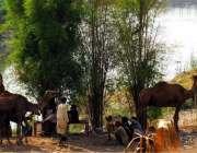 راولپنڈی: اونٹنی کی دودھ فروخت کرنیوالے خانہ بدوش دوپہر کے وقت درختوں ..