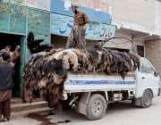 کوئٹہ: کانسی روڈ پر واقع دوکان سے جانوروں کی کھالیں گاڑی پر لوڈ کی جا ..