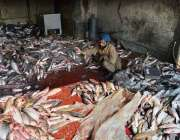 ملتان: مزدور مارکیٹ میں سپلائی کے لیے مچھلی الگ کر رہا ہے۔
