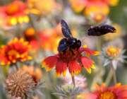 راولپنڈی: مقامی پارک میں مکھیاں پھولوں سے رس چوس رہی ہیں۔