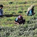 ملتان: ایک کسان اپنی فیملی کے ہمراہ کھیت سے دھنیا کاٹ رہا ہے۔
