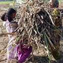 فیصل آباد: بچے اپنی والدہ کی گنے اٹھانے میں مدد کر رہے ہیں۔