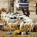 راولپنڈی: عید قربان کے لیے لائے گئے جانور سجائے بیوپاری گاہکوں کا انتظار کر رہے ہیں۔