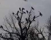 لاہور: صوبائی دارالحکومت میں شام کے وقت پرندے درخت پر بیٹھے ہیں۔