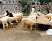راولپنڈی: عید قرباں کے لیے دور دراز سے لائے گئے جانور چارا کھا رہے ہیں۔