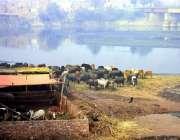 لاہور: دریائے راوی کے خشک حصے پر گوالوں نے قبصہ کر رکھا ہے۔
