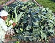 ملتان: ایک معمر کسان کھیت سے گوبھی کے پھول چن رہا ہے۔