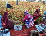 حیدر آباد: سبزی منڈی میں محنت کش خواتین ٹماٹر چننے کے بعد لکڑی کے کریٹوں ..