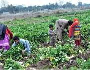 لاہور: کسان کھیت سے تازہ مولیاں چن رہا ہے۔