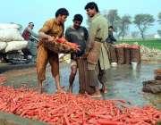 ملتان: کسان گاجریں بوریوں میں پیک کر رہے ہیں۔