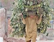 اسلام آباد: ایک شخص اپنے گھر کا چولہا جلانے کے لیے خشک لکڑیا اٹھائے ..