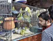 اسلام آباد: ایک دکاندار آسٹریلین طوطے اور فینسی پرندے لگائے گاہکوں ..